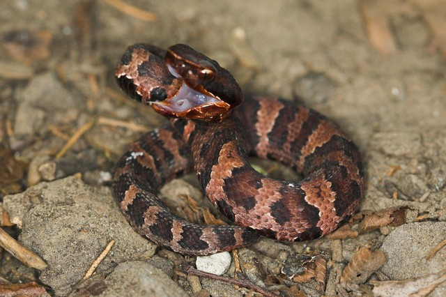 Baby Cottonmouth | Flickr - Photo Sharing!