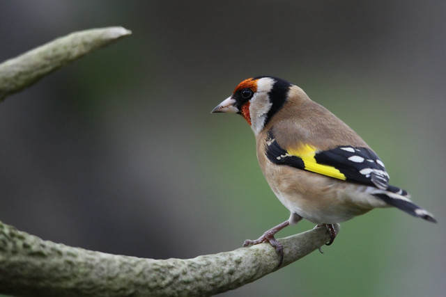 Goldfinch- Look out