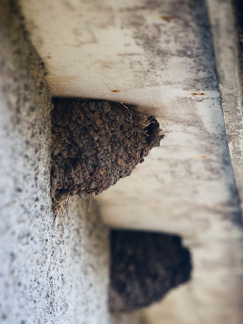 House Martin's nest (ii)