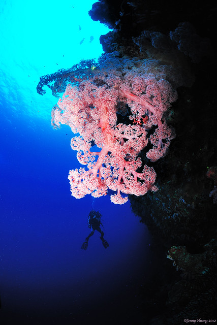The largest soft coral