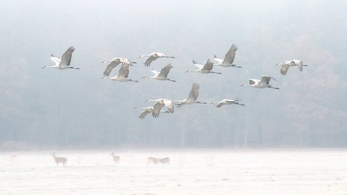 Sandhill Cranes in the mist by andiwolfe