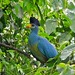 Great Blue Turaco - Photo (c) Bernard DUPONT, some rights reserved (CC BY-NC-SA)