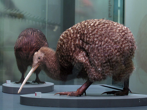 Kiwi at Auckland Museum
