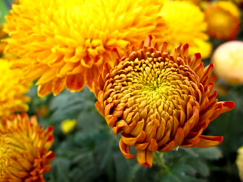 IMG_1502 Chrysanthemum ,菊花