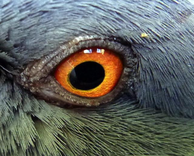 Resting Pigeon Eye (Macro)