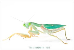 Mantids on White
