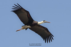 stork(0.0), white stork(0.0), cormorant(0.0), animal(1.0), wing(1.0), fauna(1.0), ciconiiformes(1.0), beak(1.0), bird(1.0), flight(1.0),