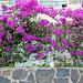 Bougainvillea - Playa del Ingles
