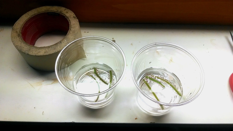 Drosera 'Marston Dragon' cuttings floating on water.