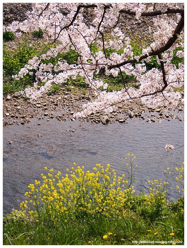 Cherry blossoms 20140408 #04