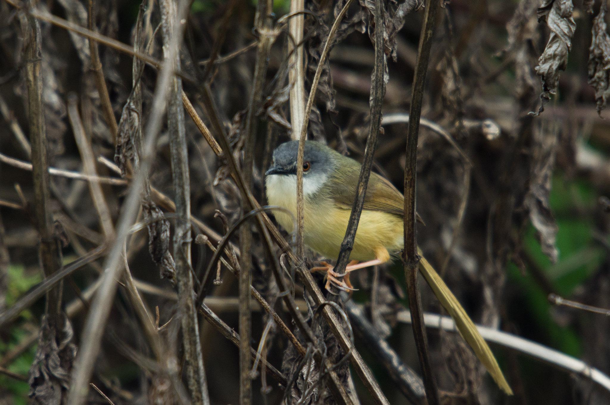灰頭鷦鶯狂叫狂追版