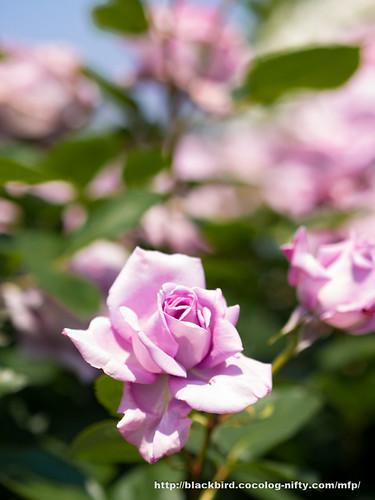Rose #03