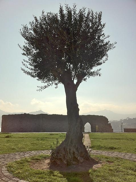Olive Tree Blocking Sun