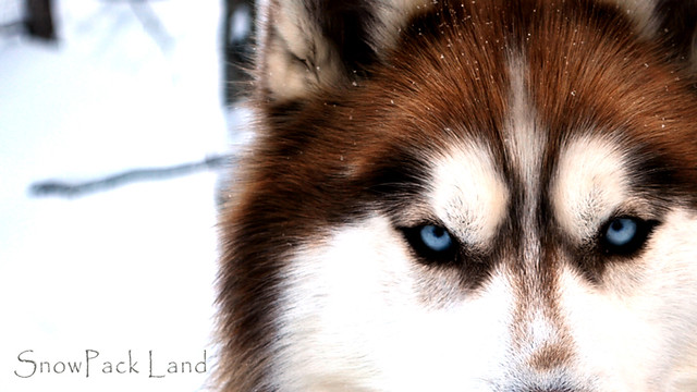 siberian husky the most beautiful dog breed in the world