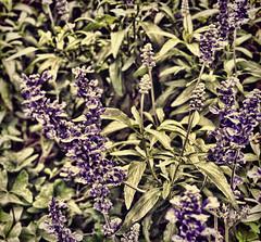 breckland thyme(0.0), lavandula stoechas(0.0), lavender(0.0), common sage(0.0), hyssopus(1.0), flower(1.0), purple(1.0), english lavender(1.0), plant(1.0), lilac(1.0), lavender(1.0), wildflower(1.0), flora(1.0),