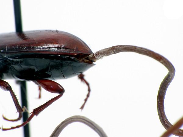 beetleworm4_sm