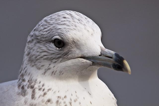 gull10