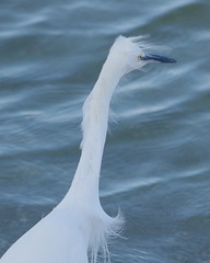 animal, great egret, heron, beak, bird, seabird,