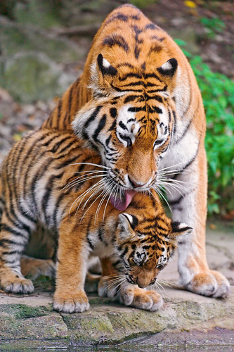 無料写真素材, 動物 , 虎・トラ, 動物  親子