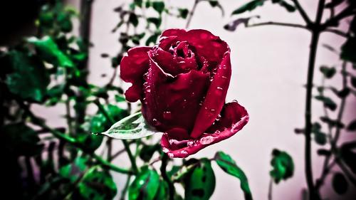 blood's rose