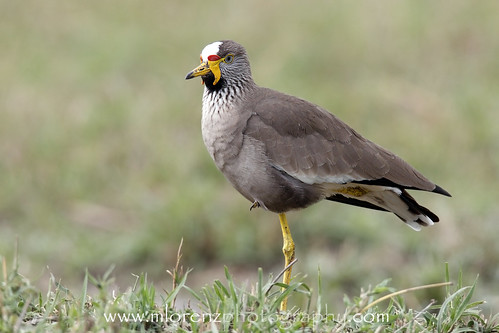 Lapwing by Megan Lorenz