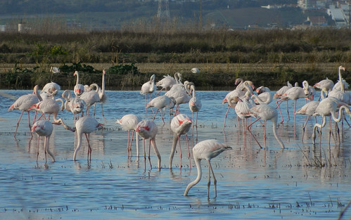 Flamingo / Greater flamingo (Phoenicopterus ruber)