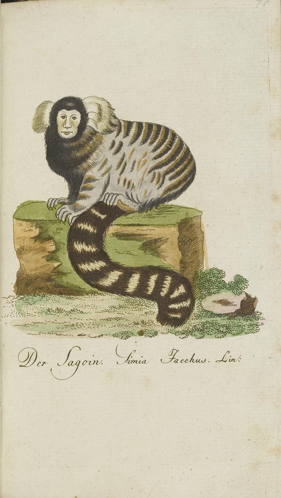 Common marmoset book illustration (absurd)