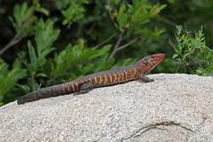 Gerrhosauridae