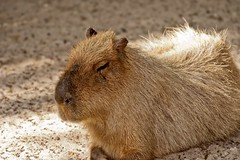 animal, rodent, prairie dog, fauna, close-up, capybara, whiskers, wildlife,