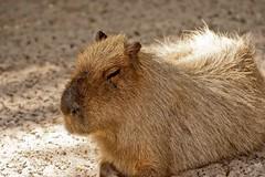 animal, rodent, prairie dog, fauna, close-up, capybara, whiskers, wildlife,