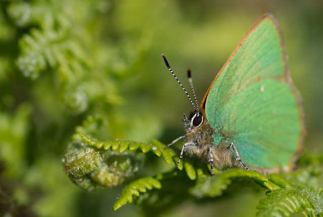 green hairstreak cleaner background