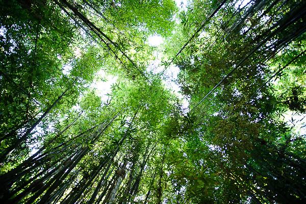 Maroc 2011 - Bambou - Jardin de Majorelle - Marrakech (tribute to Kyoto !)