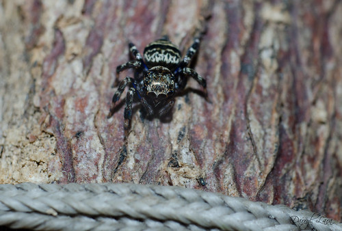 blue legged jumping spider