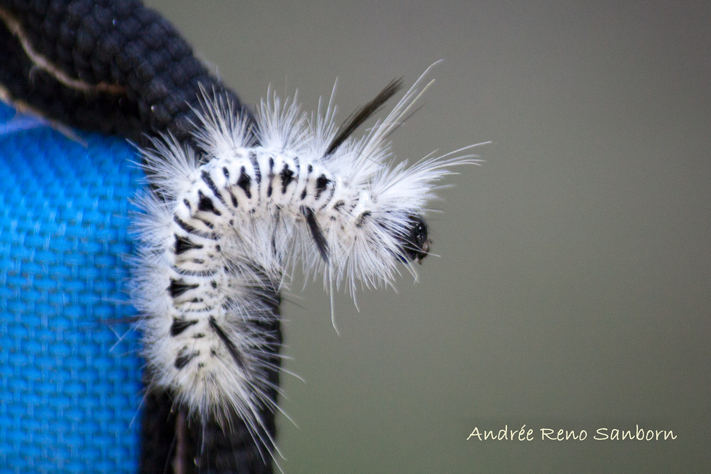 Hickory Tussock Moth Larva (Lophocampa caryae).jpg