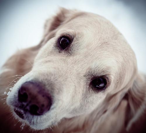 無料写真素材, 動物 , 犬・イヌ, ゴールデン・レトリバー