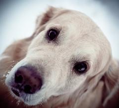 [フリー画像素材] 動物 1, 犬・イヌ, ゴールデン・レトリバー ID:201112251000