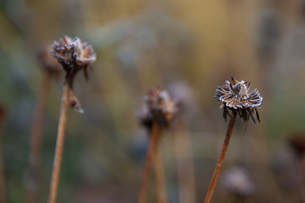 Midwinter Rudbeckia