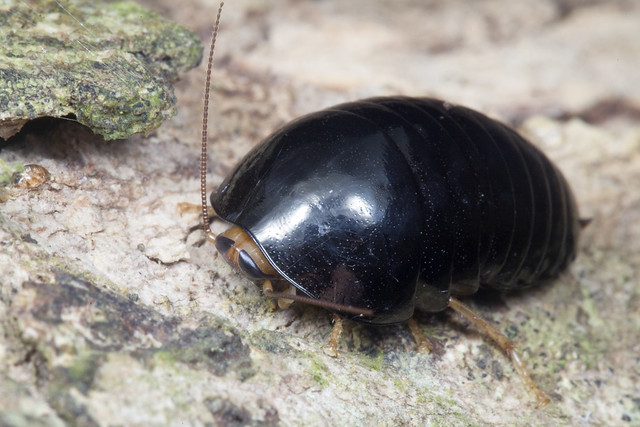 IMG_6131 pill cockroach