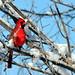 Christmas Cardinal by lokidude99