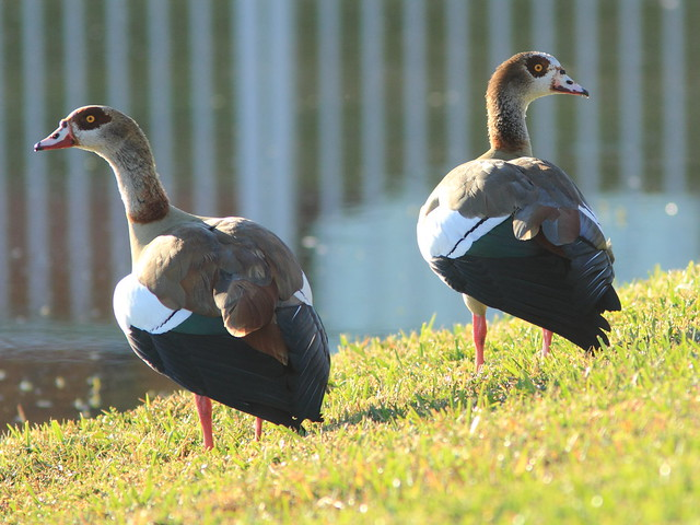 Egyptian Geese 20111231