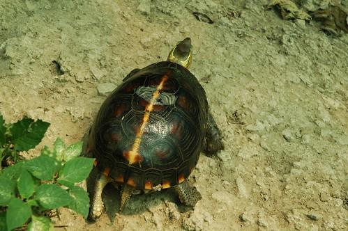 食蛇龜。特有生物中心林德恩提供。