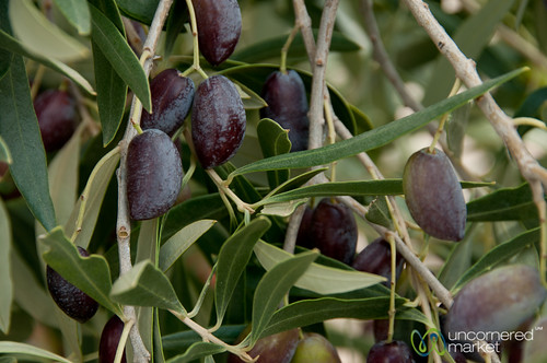 Olives Ripe for Picking - Crete, Greece