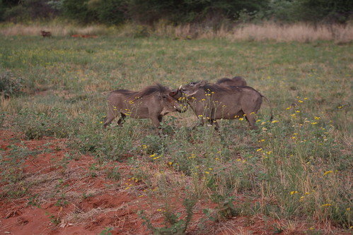 Warthogs - Okonjima
