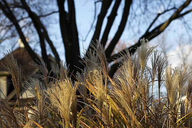 Champaign Prairie Grass