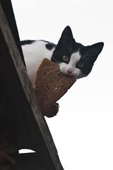 [フリー画像素材] 動物 1, 猫・ネコ, パン ID:201201201000