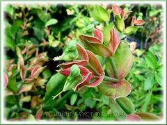 Euphorbia bracteata (Little Bird Flower, 'Xiao Niao Hua' 'Pokok Burung Indonesia')