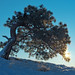 Methow Pine by Dan Hershman