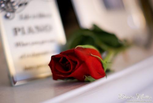 067: Red rose