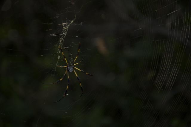 banana spider III