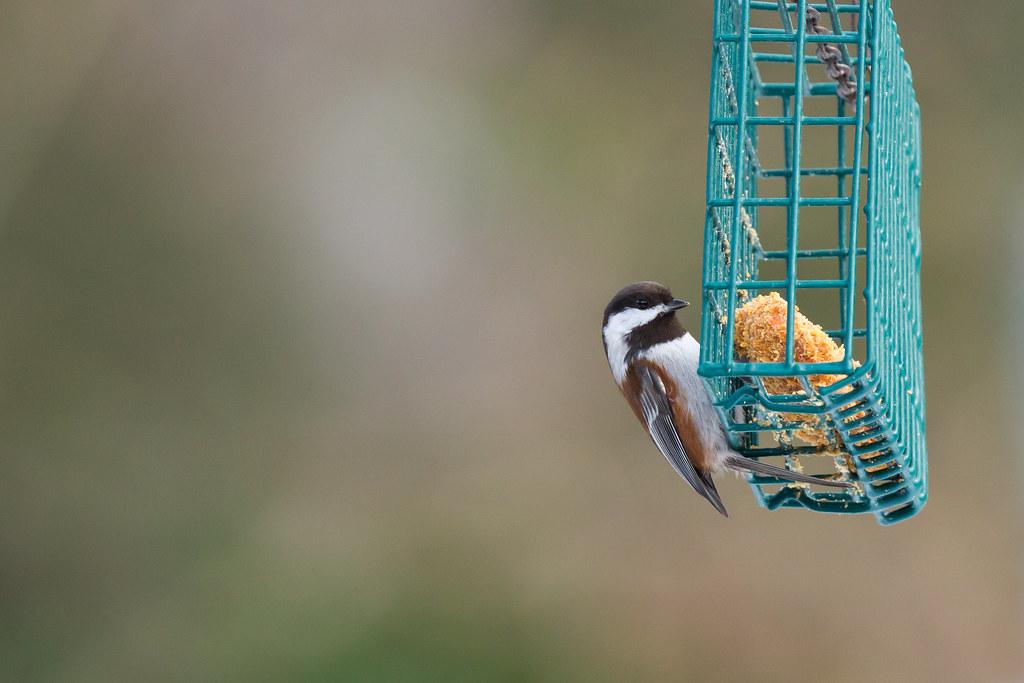 No hay derretimiento Suet - mi secreto a tener pájaros me ruega para más | El informe de Birders
